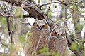 Bubo virginianus -near Tule Lake National Wildlife Refuge, Oregan, USA -juvenile-8.jpg