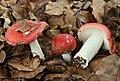 Buchen-Spei-Täubling Russula nobilis.jpg