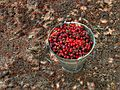 Bucket of fresh-picked cherries.jpg