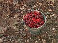Bucket of fresh-picked cherries.jpg