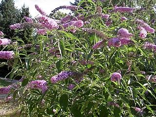 <i>Buddleja davidii</i> Species of plant