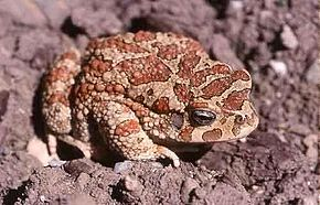 Description de l'image Bufo mauritanicus02.jpg.