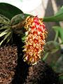 Bulbophyllum crassipes - Flickr 003.jpg