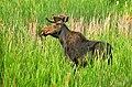 Bull Moose in Velvet Seedskadee NWR (14820442661).jpg