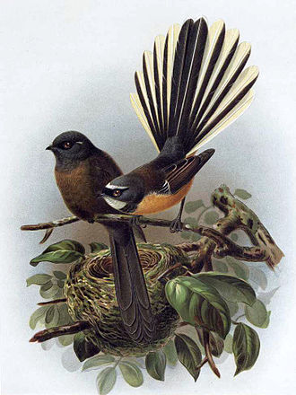 New Zealand fantail - Image: Bullers fantails