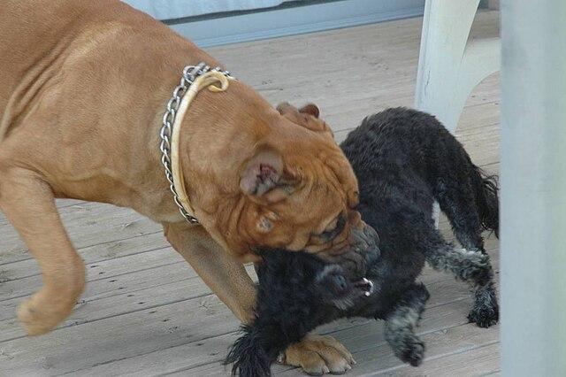 bulldog hvalpe