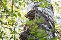 Buntspecht Dendrocopos major Nationalpark Donau-Auen Lobau Mai 2016 05.jpg