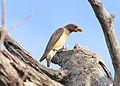 Buphagus africanus, Rundu, Namibia 1.jpg