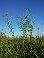 Buphthalmum salicifolium sl8.jpg