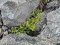 Burren Flora 11 Stone fern Asplenium (3585325019).jpg