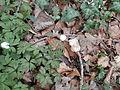 Buschwindröschen im Wald 09.JPG