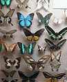 Butterflies collection in Booth Museum 1.JPG