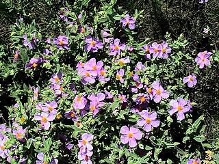 <i>Cistus albidus</i> Species of flowering plants in the rock rose family Cistaceae
