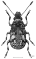 COLE Anthribidae 2.png