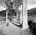 COLLECTIE TROPENMUSEUM De oude hoofdweg met bergtjemara's als wegbeplanting bij Saradan Madioen Oost-Java TMnr 10007779.jpg