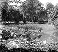 COLLECTIE TROPENMUSEUM Een lotusvijver en cyper grassen in de botanische tuin te Sibolangit Oostkust van Sumatra TMnr 10010808.jpg