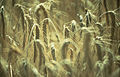 CSIRO ScienceImage 108 Wheat Stalks.jpg