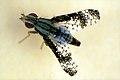 CSIRO ScienceImage 1298 Bitou Bush Seed Fly.jpg