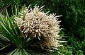 Cabbage tree.NZ (22812202043).jpg