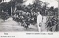 Cacaoyer de la plantation de Lemba-Mayombé-Congo.jpg