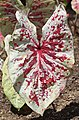 Caladium 'Raspberry Moon' Leaf.JPG