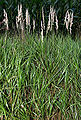 CalamagrostisCanescens2.jpg