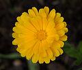 Calendula officinalis - Parc floral 3.jpg