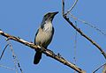 California scrub jay, Aphelocoma californica, along the Guadalupe River in Santa Clara, California, USA (30866929941).jpg