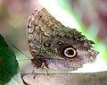 Caligo eurilochus - Papiliorama, Swiss Tropical Gardens - 20100417.jpg