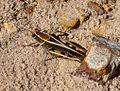 Calliptamus barbarus. - Flickr - gailhampshire (5).jpg