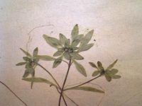 Callitriche hamulata.JPG