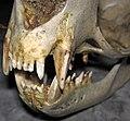 Callorhinus ursinus (northern fur seal) skull 7 (32712131047).jpg