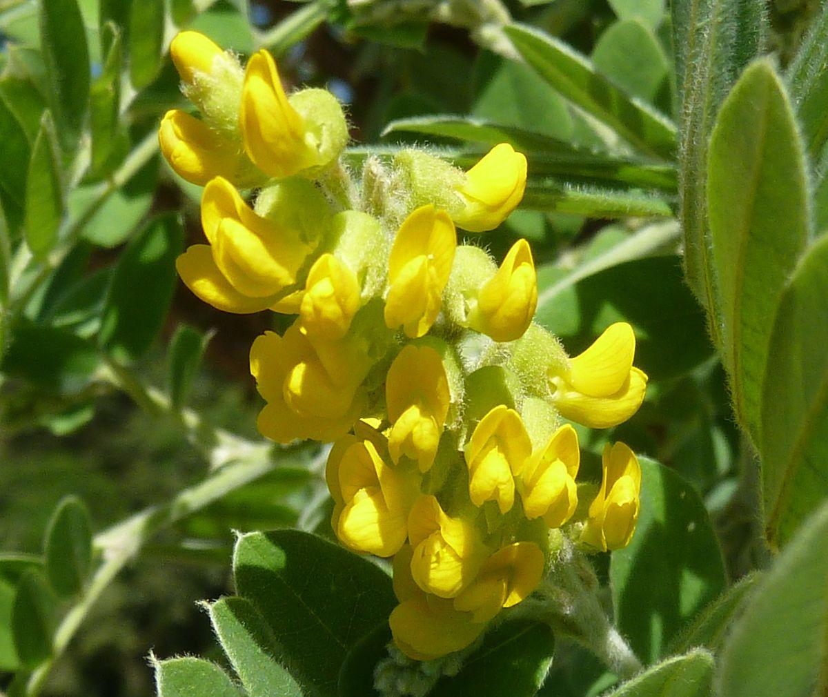 Calpurnia (plant) - Wikipedia