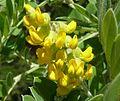 Calpurnia sericea, bloeiwyse, Walter Sisulu NBT.jpg