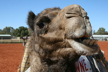 English: Camel face, chewing. During the Alice...