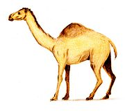 Camelops color.jpg