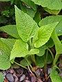 Campanula latifolia subsp. latifolia Dzwonek szerokolistny 2019-05-03 05.jpg