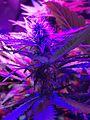 Cannabis 20160411 093301 (26272890172).jpg