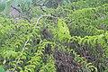 Canthium coromandelicum 3.jpg