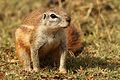 Cape ground squirrel, Xerus inauris, at Krugersdorp Game Reserve, Gauteng, South Africa (27410192771).jpg