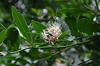 Capparis sepiaria var. citrifolia00