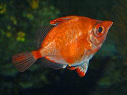 Capros aper at the Civic Aquarium of Milan