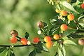Capsicum schottianum 2.JPG