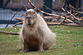 Capybara (5826255818).jpg