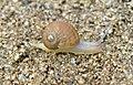Caracol con los cuernos al sol 02 - little snail (286622221).jpg