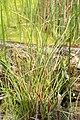 Carex extensa kz02.jpg