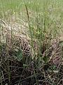 Carex laxa Kiiminki, Finland 19.06.2013.jpg
