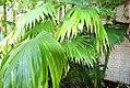 Carludovica palmata 3zz.jpg