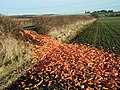 Carrot Mayhem Milking Slade Lane - geograph.org.uk - 1090544.jpg