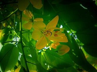 Cassia fistula - A flower in Chandigarh, India